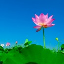 lotus-563456_1280